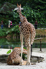 Taiping lake zoo giraffe.jpg